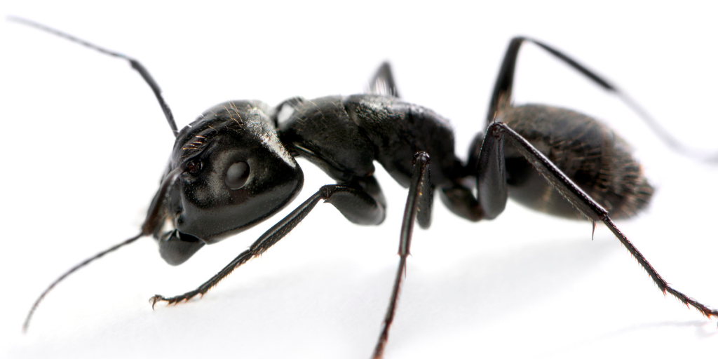 a single carpenter ant on a white background
