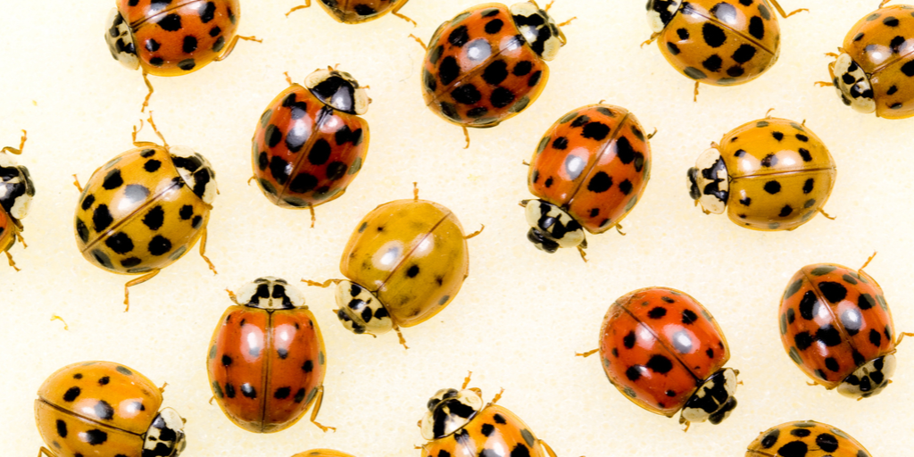 a group of red, yellow and orange asian lady beetles.